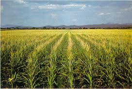 Cadena de valor del maíz