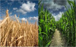 El maíz y el trigo como motores del desarrollo argentino. Actualización