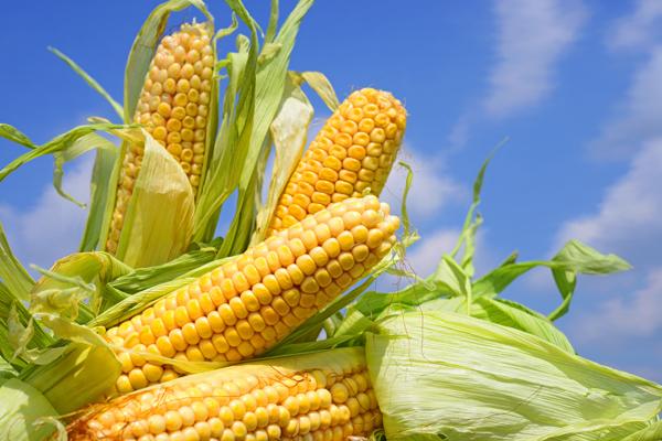 El potencial transformador del maíz en el departamento Río Cuarto