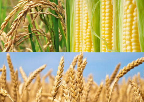 El maíz y el trigo como motores del desarrollo argentino